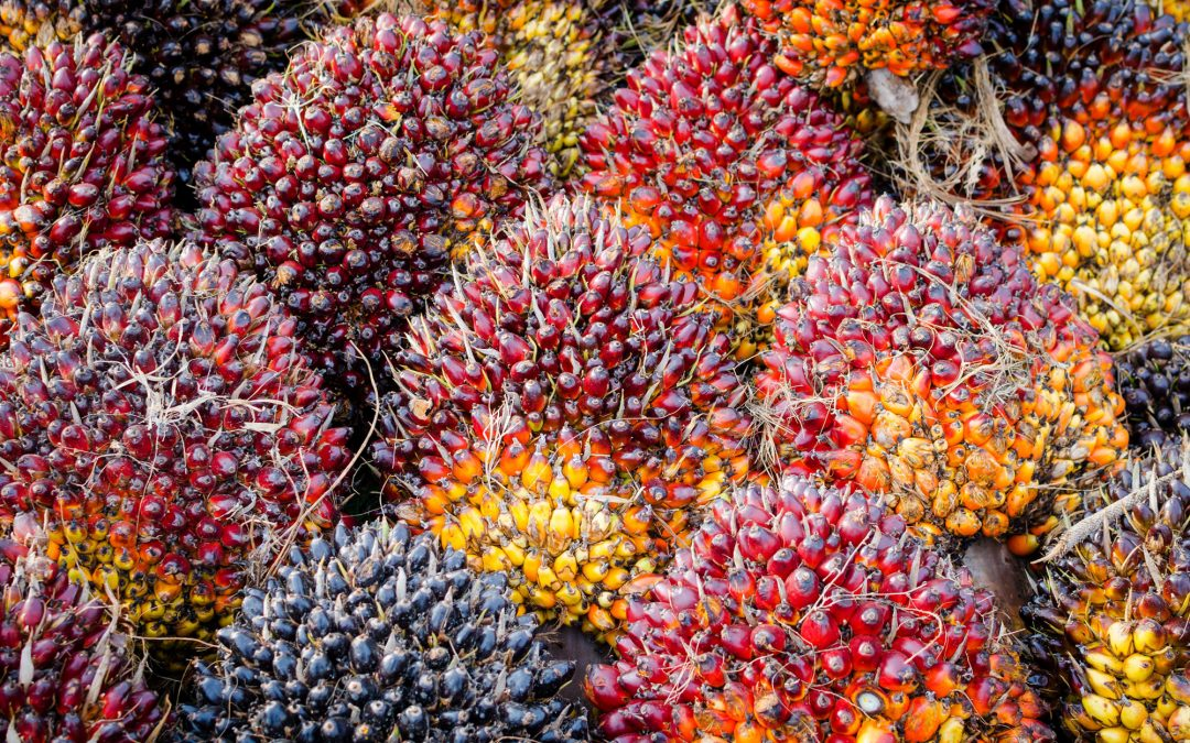 7 Cara Memelihara Kelapa Sawit agar Berbuah Banyak