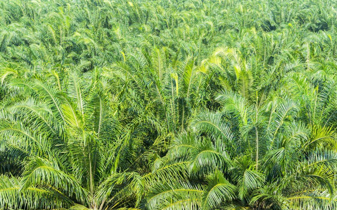Peranan Perkebunan Kelapa Sawit Berkelanjutan dan RSPO Dalam Menyelamatkan Bumi Indonesia